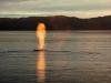 fire-breathing-whale