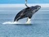 whale-mid-air
